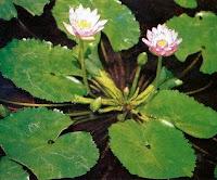 Teratai Kerdil (Nymphaea tetragona Georgi.)