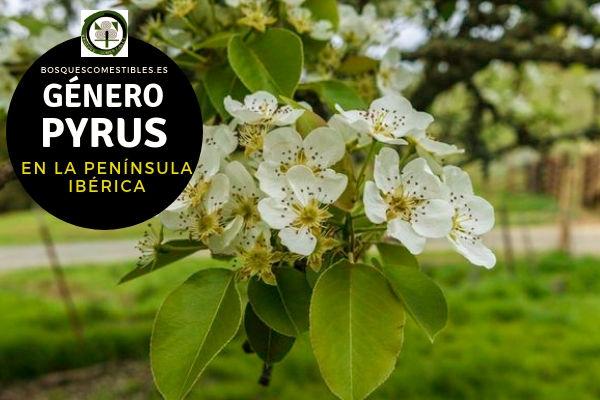 Lista de especies del Género Pryrus, Peral, Familia Rosaceae en la Península Ibérica.