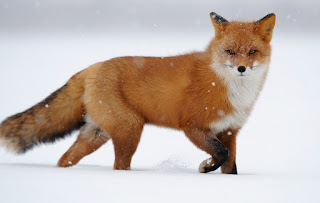 Fun Facts about fox for animal lovers