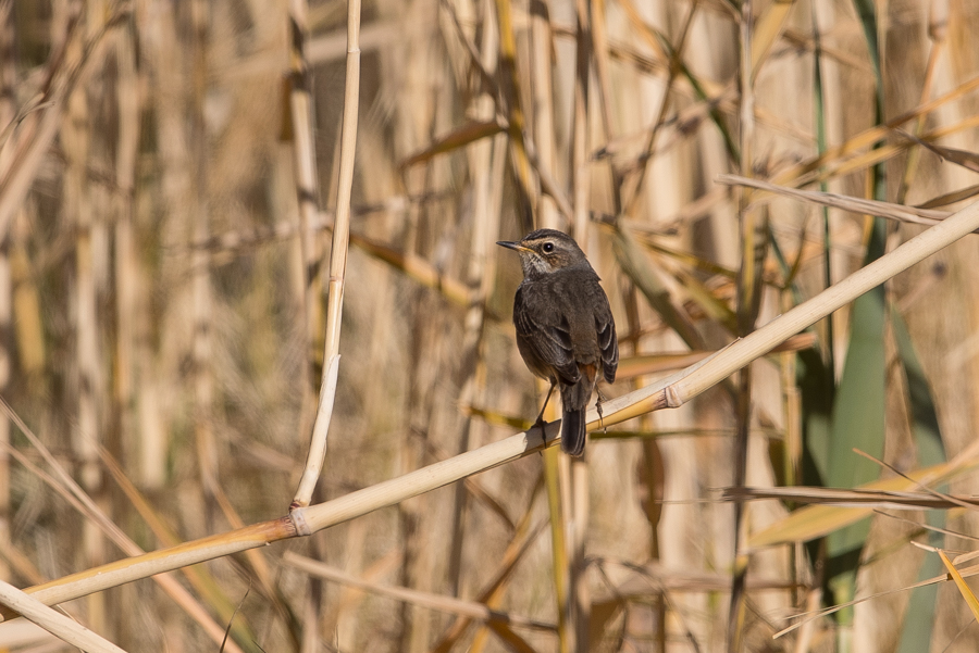 Last of the Wintering Bluethroats – Haradh