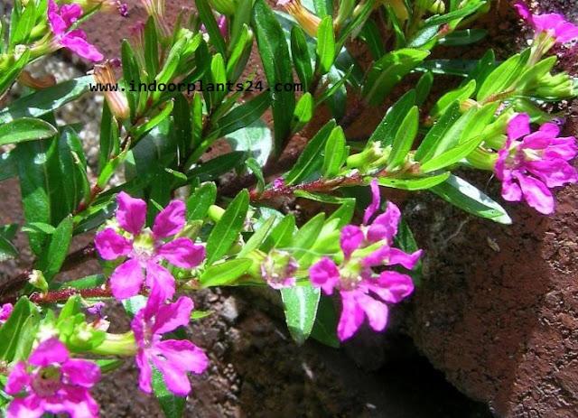 CUPHEAIGNEA Cuphea Ignea Lythraceae