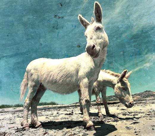No Heart No Ears Donkey African Folktale
