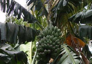 pisang pokok kepok