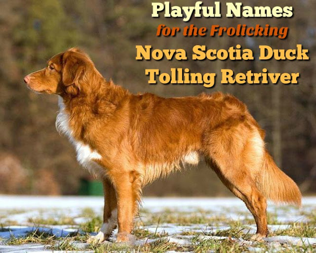 Names for the Nova Scotia Duck Tolling Retriever