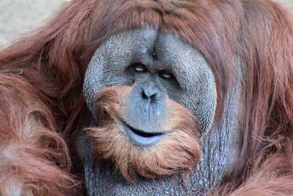 orangutan dewasa