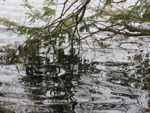 hemlock branches in water