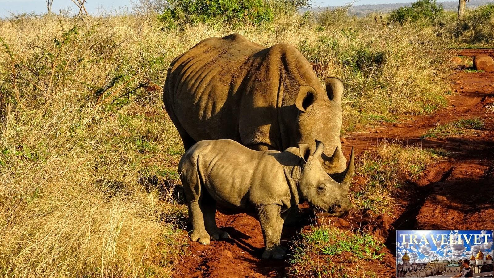 Safari Mkhaya Game Reserve du Swaziland Rhinocéros bébé