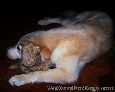 Mhershey and her first toy - a stuffed golden retriever puppy