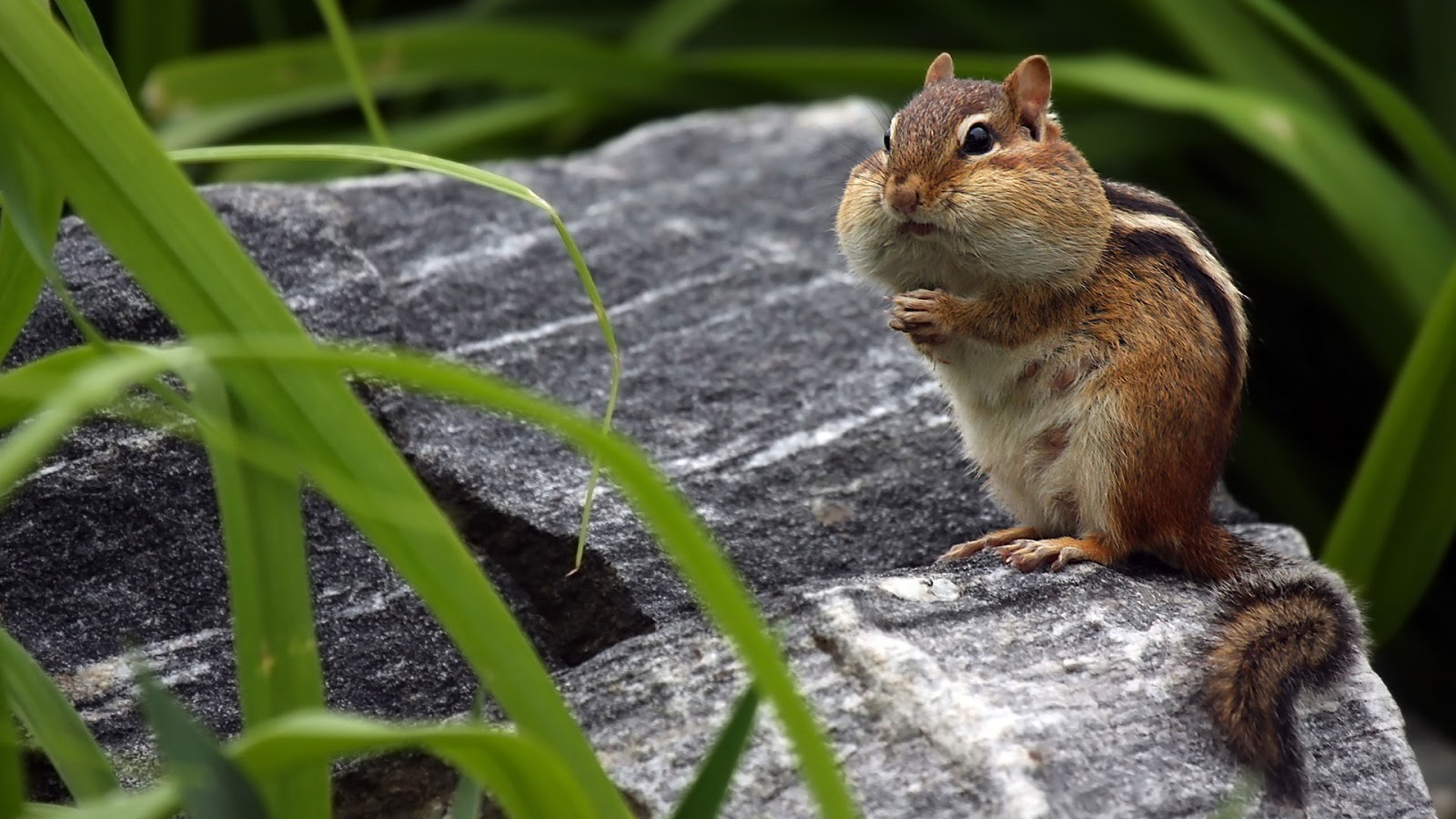 Chipmunk storing food in his cheeks © mlorenzphotography/Getty Images