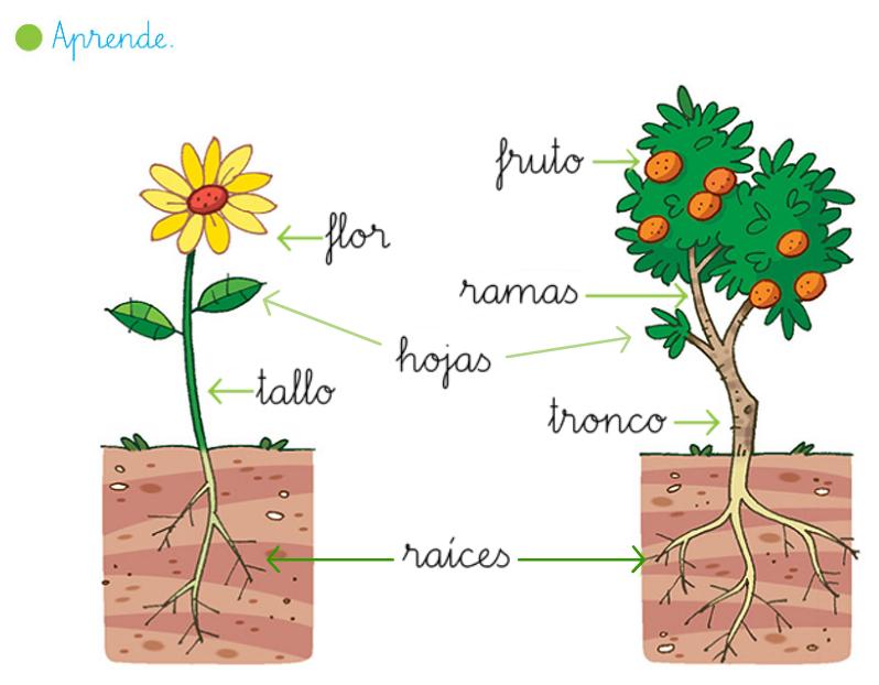 Mi rinconcito de primaria las plantas for Cuales son las partes de un arbol