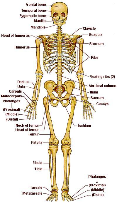 Dibujo del Sistema óseo indicando sus partes en inglés
