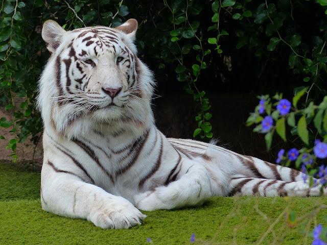 Esses tigres-brancos, não são albinos, pois há presença de cor neles.  São tigres com uma condição genética que elimina quase toda a sua cor normalmente alaranjada, mas, de forma a não afetar as listras que podem ser pretas, marrons, ou cinzas .  Essa brancura ocorre quando um tigre herda, de ambos os pais, genes para a coloração mais pálida, adquirindo: nariz cor de rosa, gelo - olhos azuis e creme, pele branca com listras pretas, marrons, ou cinzas.