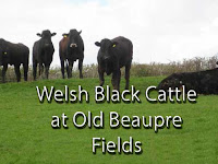 old beaupre castle, welsh black cattle