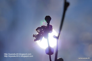 梅と太陽の写真