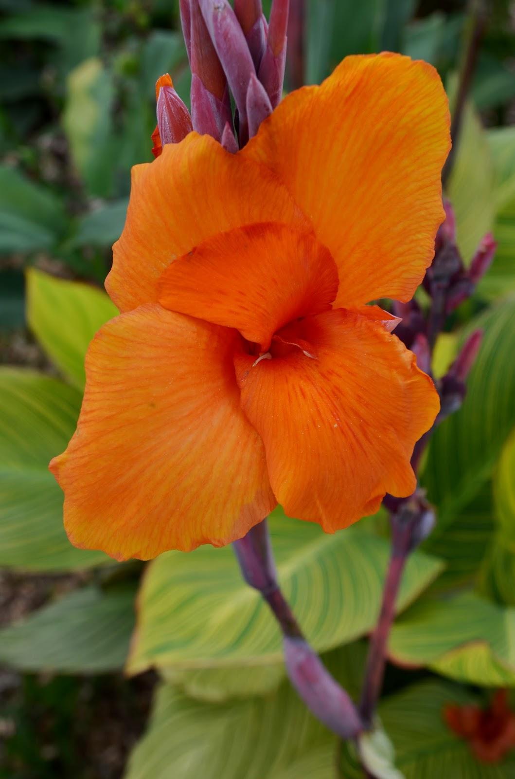 Brian s Botanicals The Canna Flower