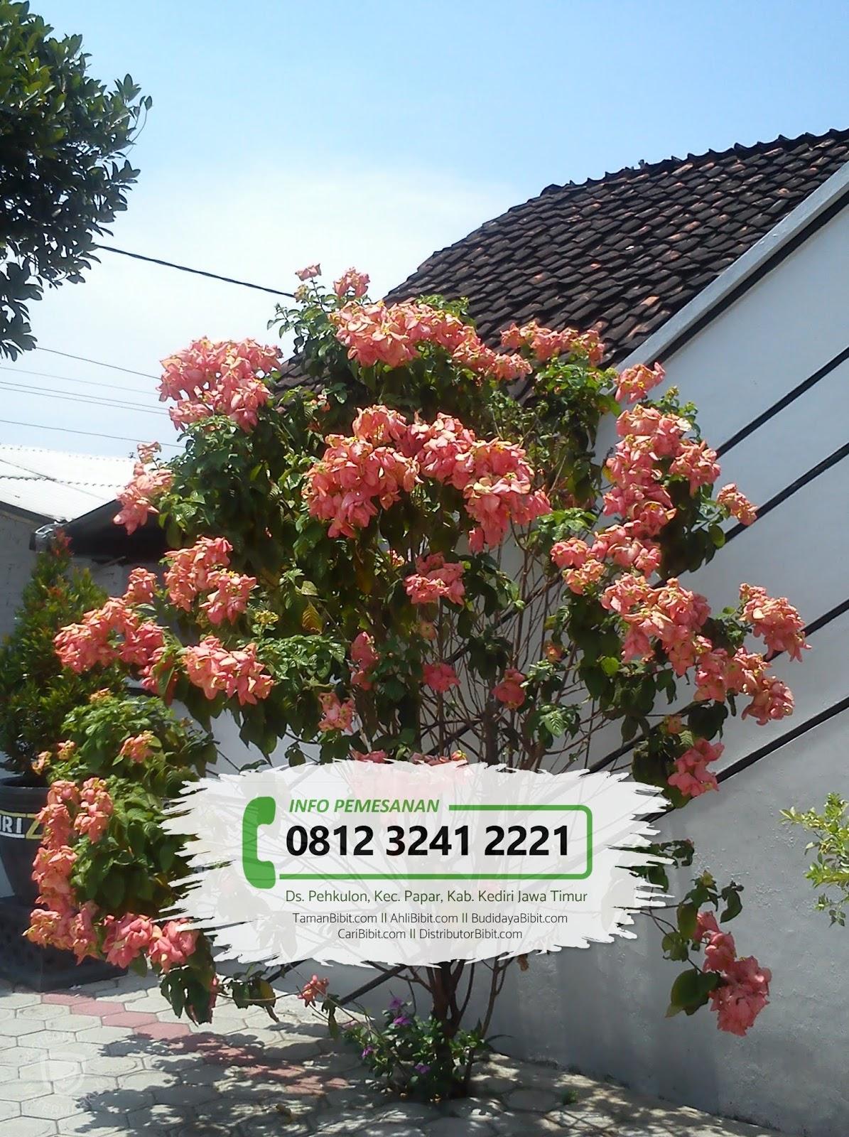 Jual Bibit Bunga Nusa Indah Tamanbibit Com