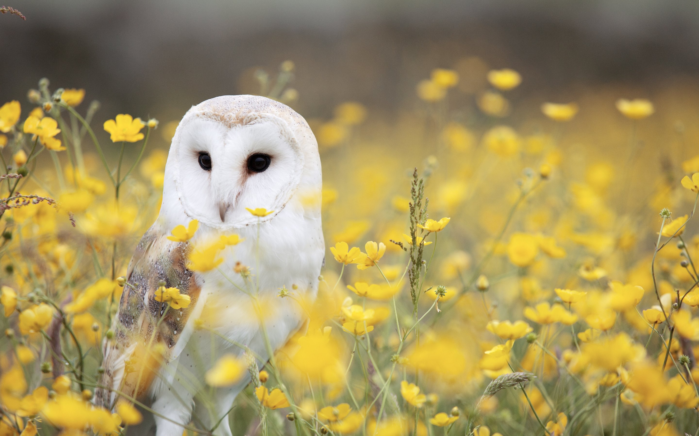 owl wallpaper desktop 7 - photo #11