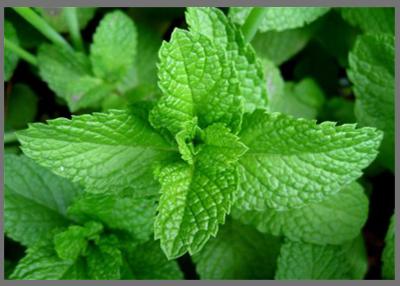 فوائد النعناع الصحية Mint