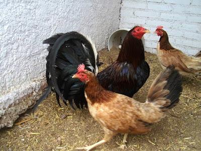 trio de gallos