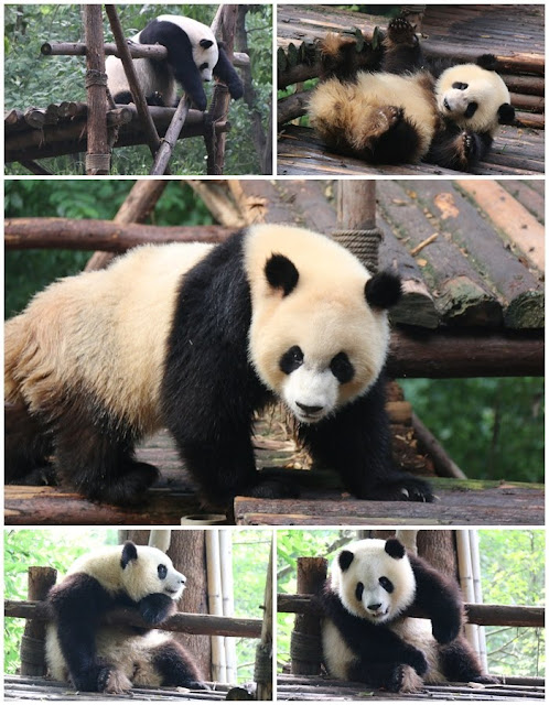 The typical panda behaviour of being playful, laziness and enjoyed rolling on the ground at Chengdu Panda Breeding Research Centre in Sichuan province of China