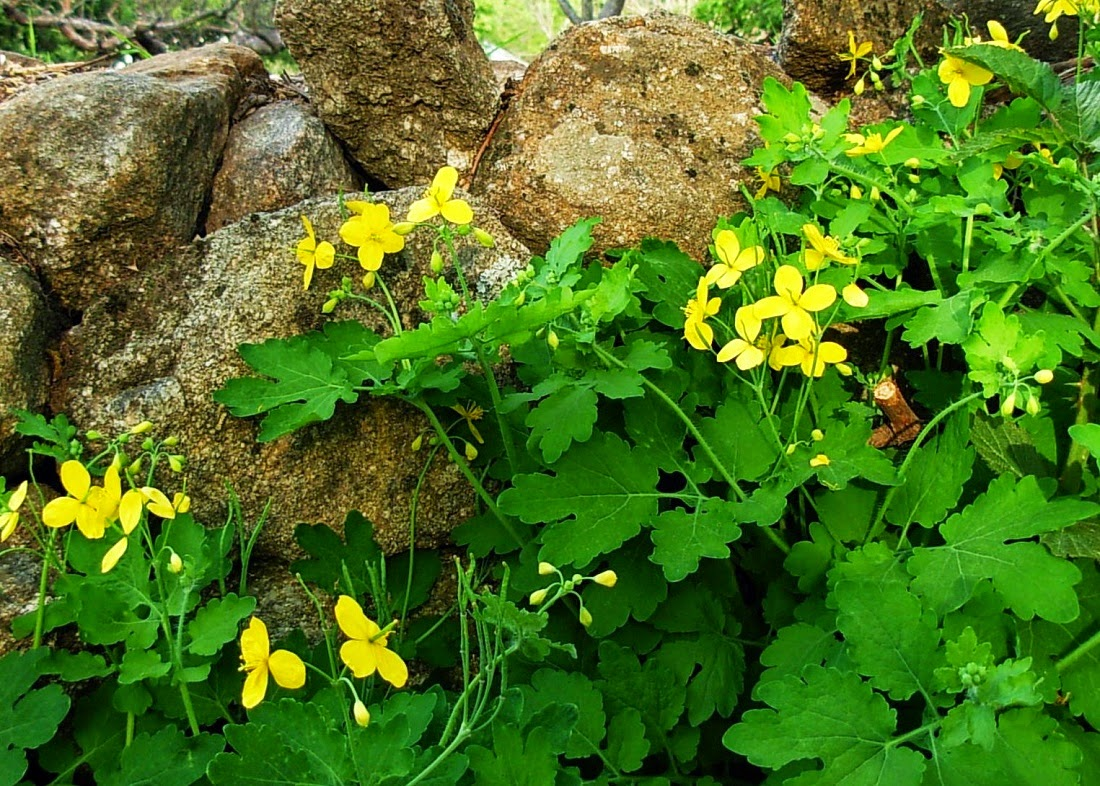 Fiori Gialli Per Verruche.Salutiamoci Curarsi Con La Celidonia Curing With Celandine