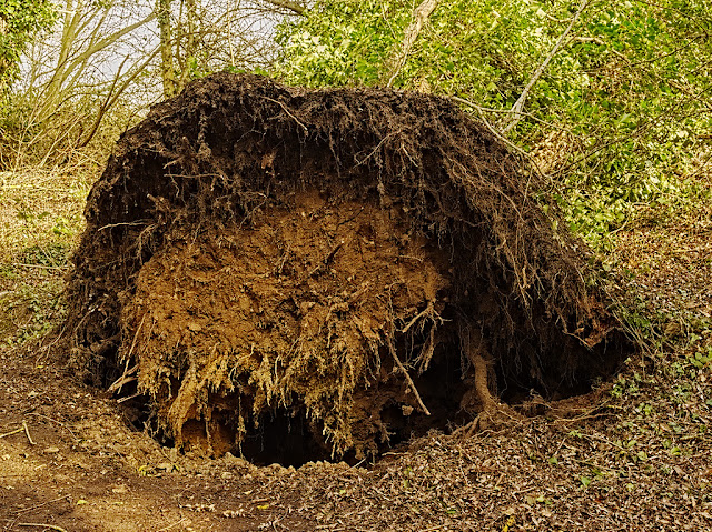 Root ball of fallen tree