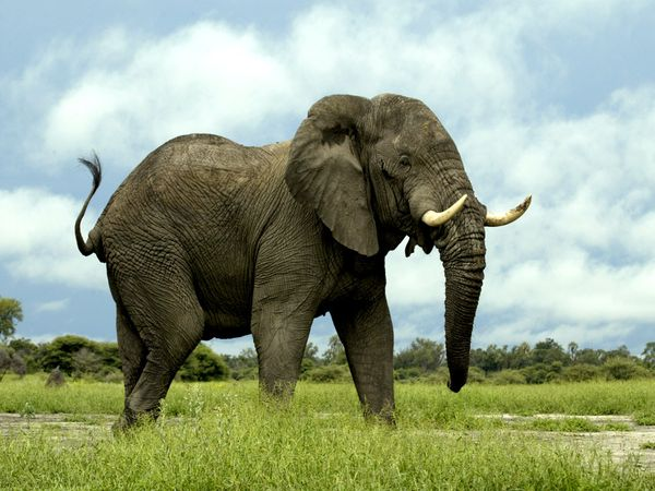 Beautiful And Dangerous Animals Birds Hd Wallpapers: African Elephant Latest Hd Wallpapers/Images 2013