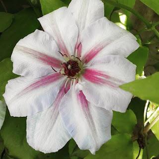 Clematis 'Malaya Garnet'