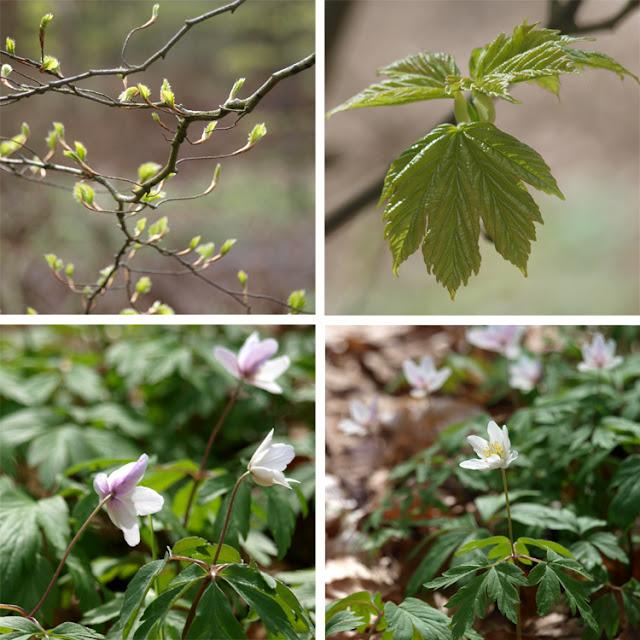 Anemoner i skovbunden