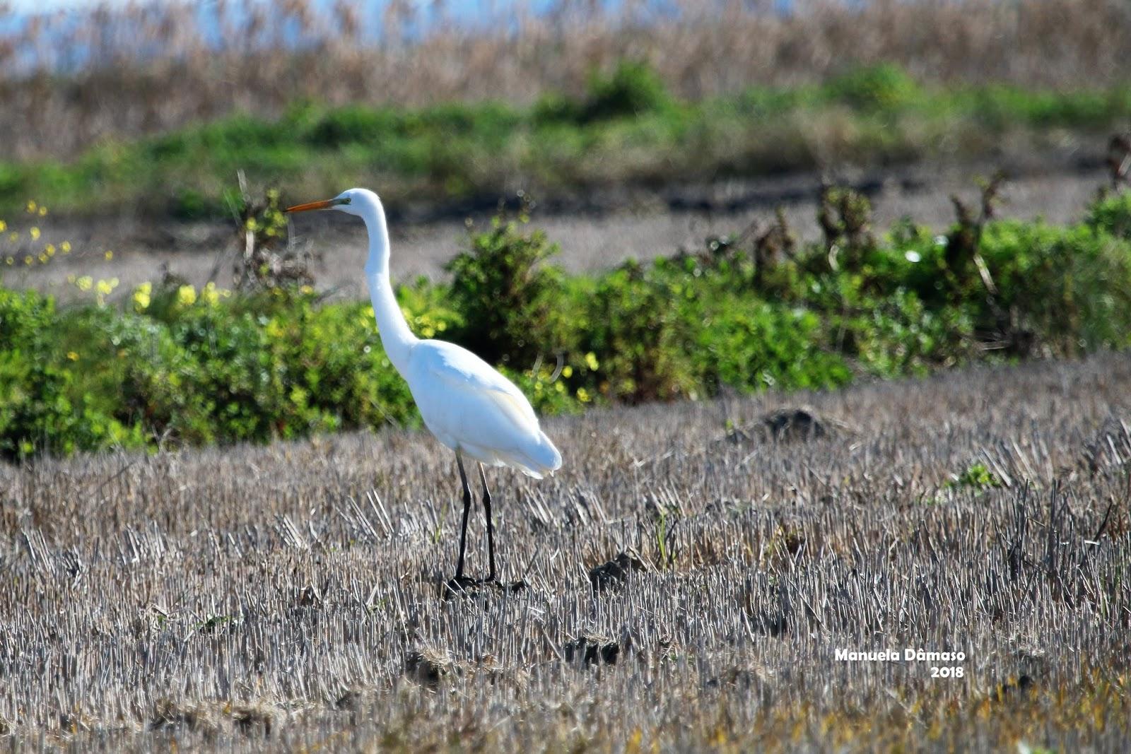 voando na natureza garça branca grande