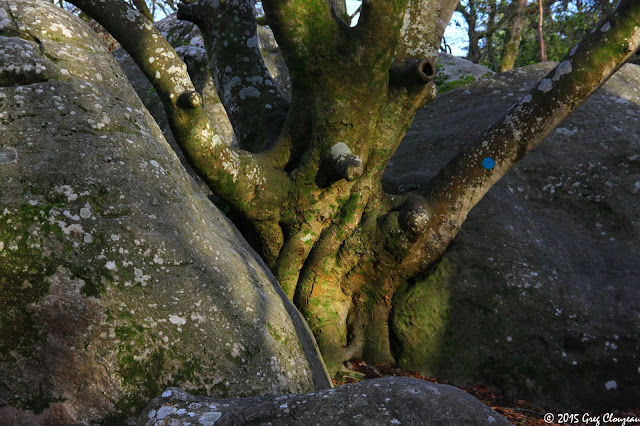 Hêtre remarquable du Bas Cuvier, Forêt Fontainebleau, (C) 2016 Greg Clouzeau