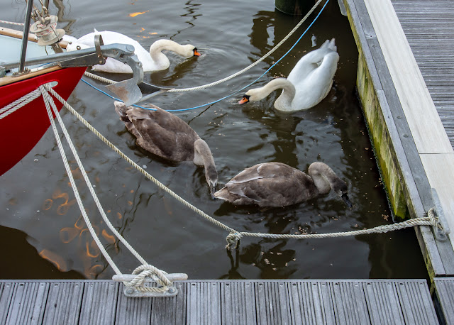 Photo of the swans enjoying their food on Monday afternoon