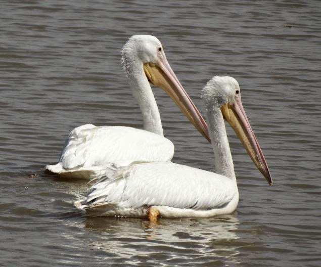 Photo of a pair of white pelicans floating in a West Houston flood control pond
