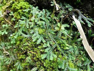 Selaginella sp. - Sélaginelle