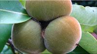 gambar buah bisbul, sembolo