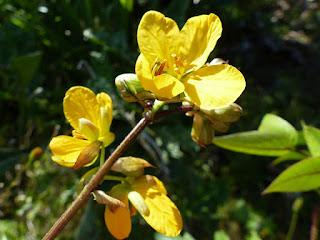 Senna occidentalis - Casse fétide - Faux kinkéliba - Café-nègre