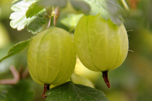 Amla Benefits, Gooseberry Benefits, Amla Health Benefits, Amla Nutrition, Benefits Of Amla, Benefits Of Indian Gooseberry, Gooseberry Health Benefits, Indian Gooseberry Benefits, Amla For Hair