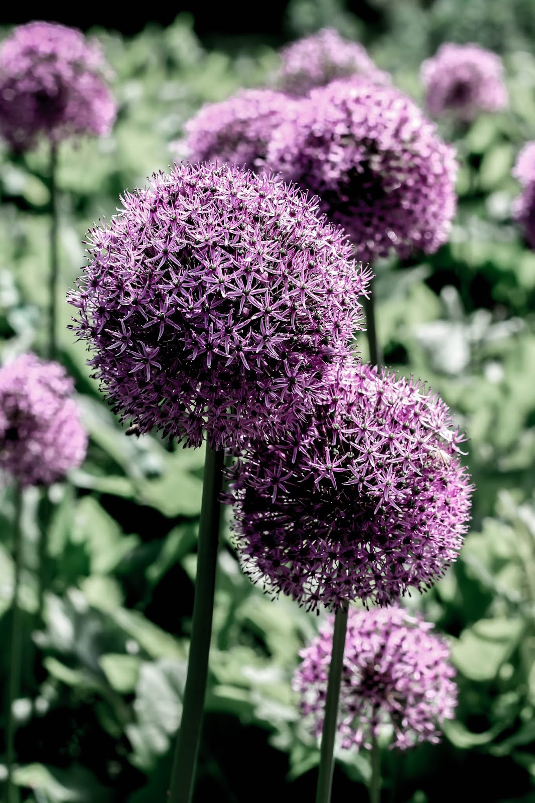 Purple Alliums Flower Photography