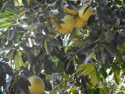 Menanam jeruk bali di halaman rumah agar berbuah lebat – sama hal nya pada umumnya jeruk bali merupakan salah satu jenis jeruk yang sangat di sukai oleh kalanga masarakat, jenis jeruk bali merupkan jeruk yang tergolong super besar, jeruk bali sendiri ukuran matangnya bisa seukuran kelapa besar.