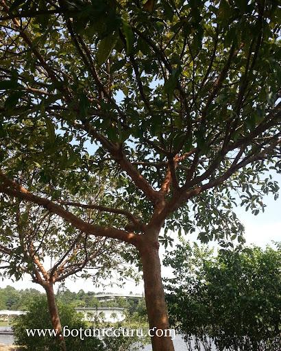 Dillenia indica, Elephant Apple, Chulta, Indian Simpoh