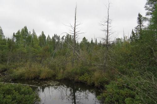 river with dead cedar
