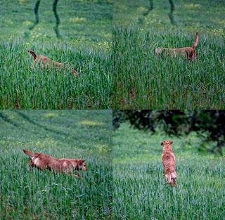 Vicky, la perra marrón, vuela sobre el trigal  dando unos saltos enormes buscando conejos