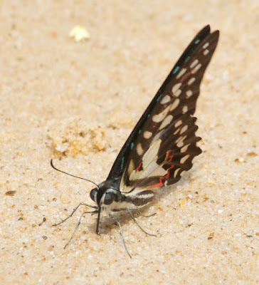 Common Jay (Graphium doson)