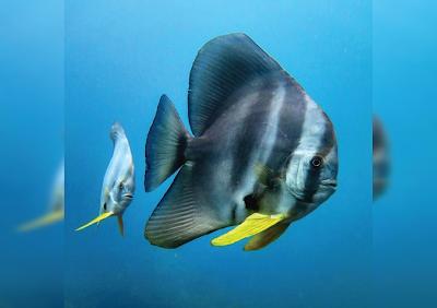 Bentuk Fisik Longfin Batfish