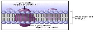 Struktur Menbran Plasma