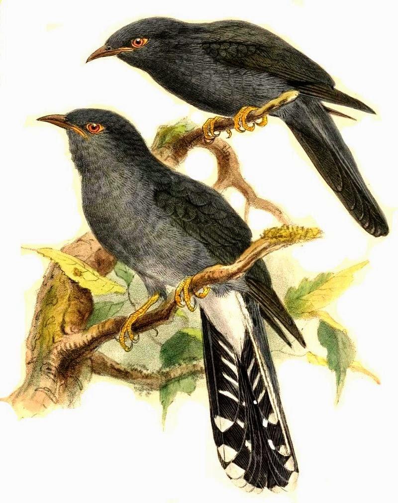 Cuco vientre gris: Cacomantis passerinus