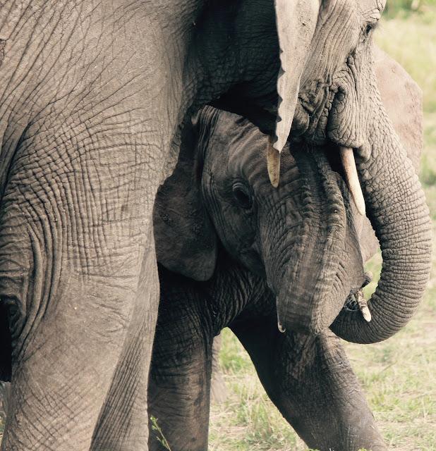 pix-elephant