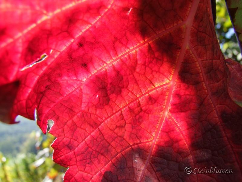 rote Weinblätter im Herbst