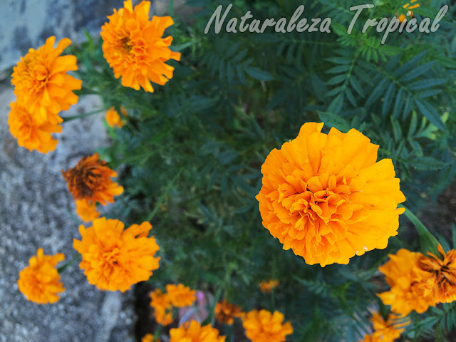 Flores de la Flor de Muertos, Tagetes erecta