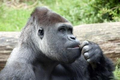 """Gorila pensando"""